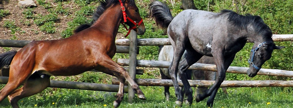 Horse Behaviour and Safety - Two Playing Horses