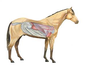 Anatomy of Horse - Left Side