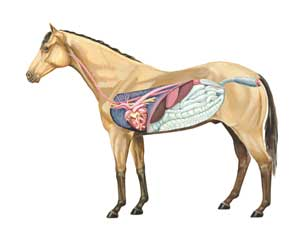 Anatomy of Horse - Right Side
