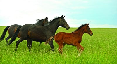 Mares and foal running