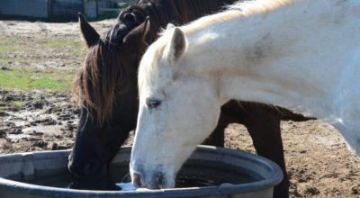 Horses drinking from trough